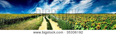 Rural Road And Field Of Sunflowers.