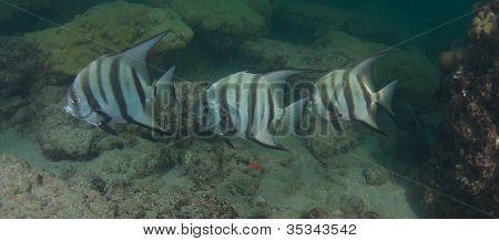 Spadefish on the beach