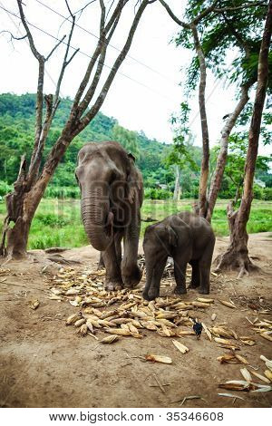Baby elephant and mother playing and eating corns of the ground.