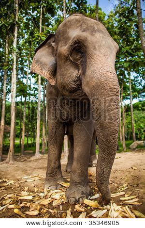 Elephant eating corns of the ground with rice field in the background.