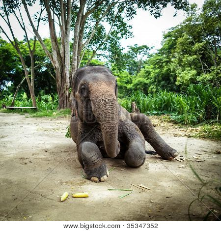 Mature female elephant sits on the ground