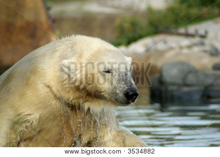 Polarbear shaking of the water