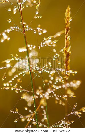 Morning Dew. Shining Water Drops On Grass Over Golden Sunlight