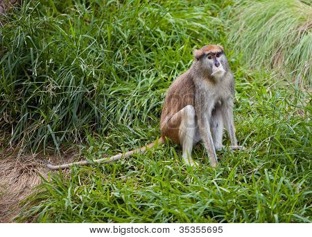 Patas monkey in the grass