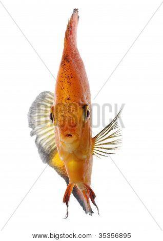 Orange Diskus
