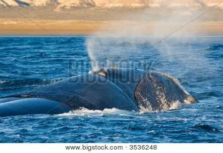 Right Whale In Peninsula Valdes Patagonia Argentina.