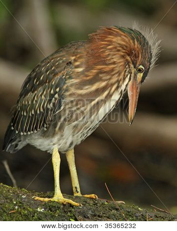 Young Green Heron Watching an Ant on its Leg