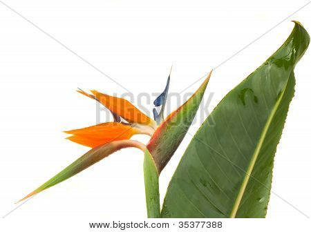 Strelitzia flower with leaf
