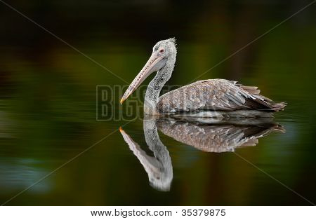 Spot-billed Pelican With The Reflection