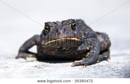 Closeup Of Toad Staring Directly At Camera