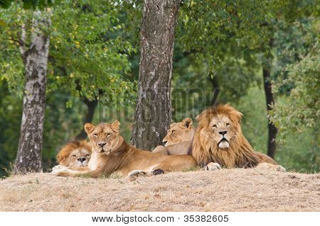 lions resting under a tree