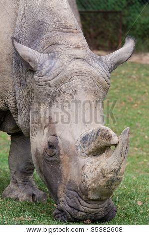 rhino eating grass
