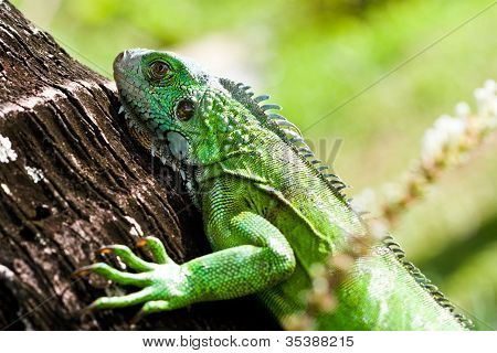 Another Green Iguana Day