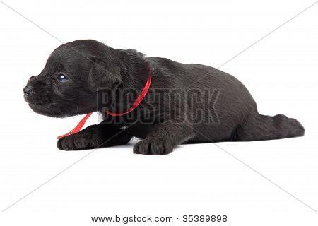 Negro cachorro de Schnauzer Miniatura