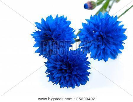 Blue Cornflower Flower  (centaurea Cyanus)