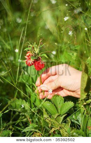 Picking of strawberry