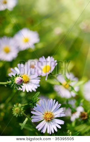 Daisy Or Camomile Flowers On Green Grass