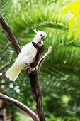 stock photo of palm cockatoo  - white parrot of a cockatoo sits on a branch - JPG