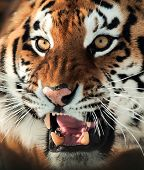 image of tigress  - The Siberian tiger  - JPG