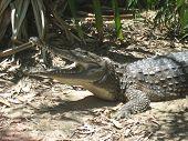 Постер, плакат: Крокодил с ним имеет рот открытым