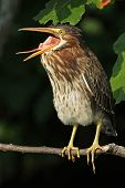 picture of esophagus  - Young Green Heron  - JPG