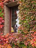 stock photo of english ivy  - Windows of a caste covered with autumn - JPG