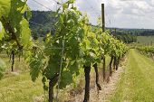 image of dork  - Close up of grapevines at vineyard on the North Downs - JPG