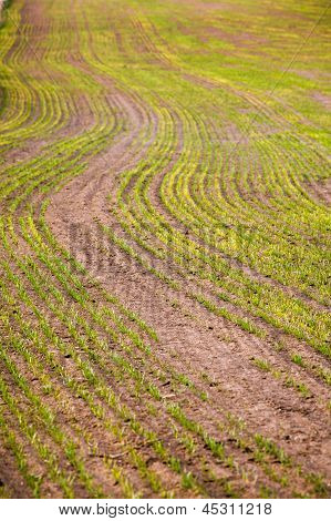 Green Growing Grain Early In Spring