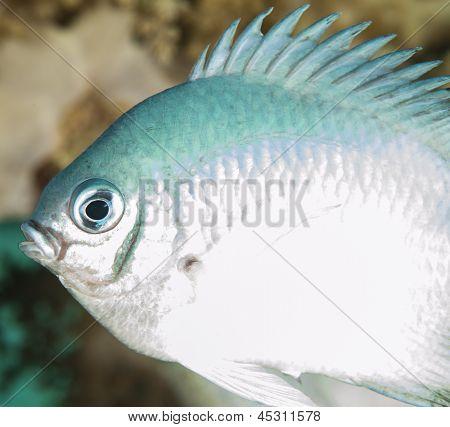 Pale Damselfish On A Coral Reef