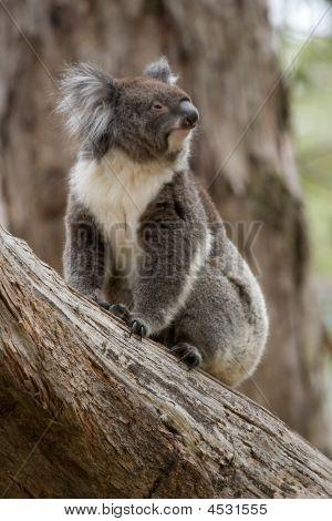 Koala In An Old Gum Tree Australia