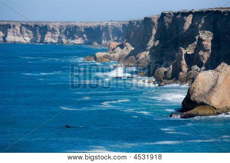 Southern Right Whale Bunda Cliffs Nullarbor Plain South Australia