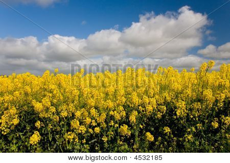 Close Up Of Canola Crops With Blue Sky In Background