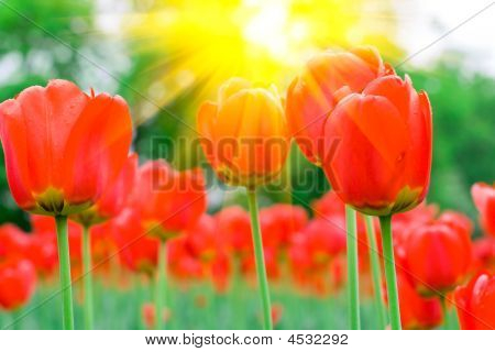 Spring Red Tulips