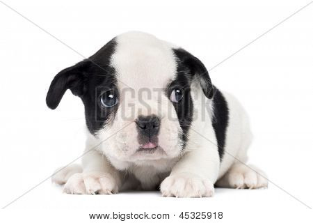 French Bulldog Puppy, 2 months old, isolated on white