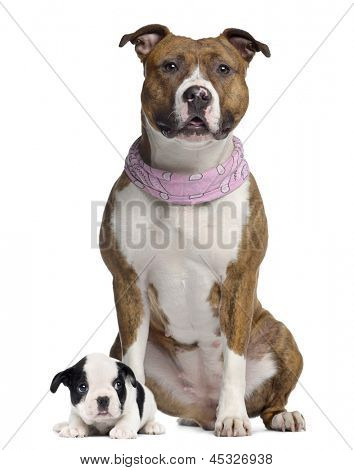 American Staffordshire terrier with pink bandana and French Bulldog Puppy, isolated on white