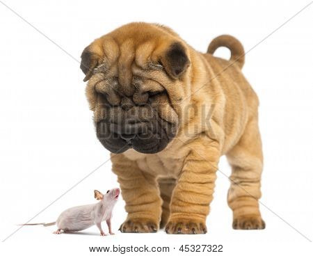 Shar Pei puppy looking down at a Hairless mouse, isolated on white