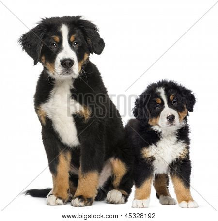 Two Young Bernese Mountain dogs, 3,5 months old and puppy, next to each other