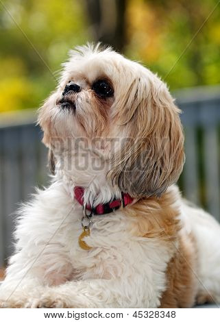 Shih tzu Dog Looking Up for Inspiration