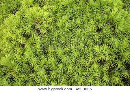 Needles Of Dwarf Alberta Spruce