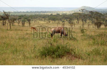 Topi - Medium-sized Antelope