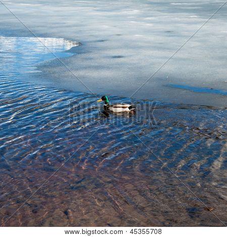 duck swimming in a frozen lake