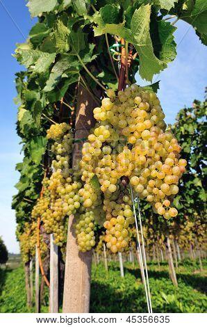 Grape organic