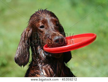 Irish Setter With Frisbee