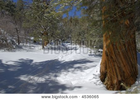 Snowy Cougar Crest Trail In The San Bernardino Mountains