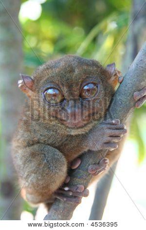 Nature  Smallest Primate  Tarsier