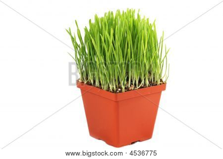 Pot With Green Grass Isolated