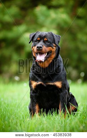 rottweiler dog outdoors