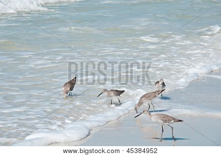 Five Sandpipers Feeding At The Waters Edge