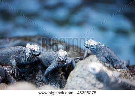 Endemic Galapagos marine iguanas on rocks