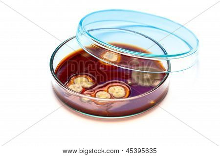 Mold Growing In A Petri Dish,